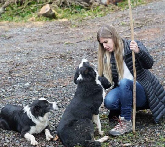 Irish Working Sheepdogs.  Co. Kildare